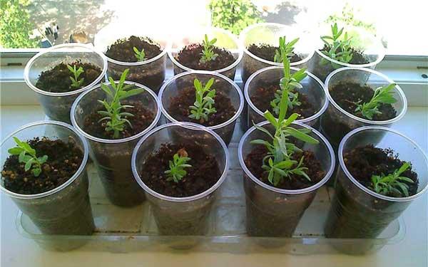 Лаванда из семян как вырастить в домашних условиях из 749
