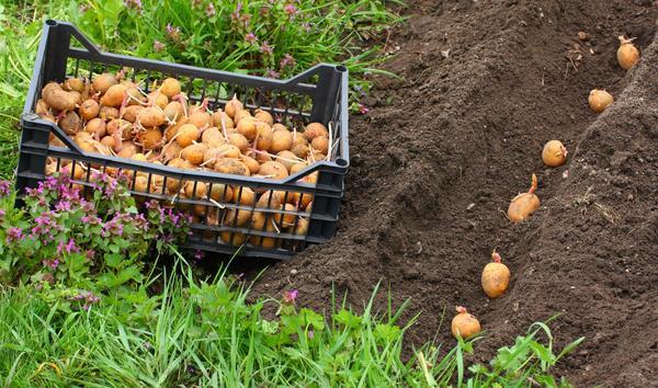 Посадка картофеля в 2018 году, когда сажать, календарь