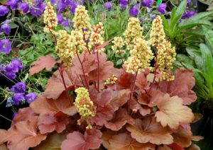 Heuchera_Blondie