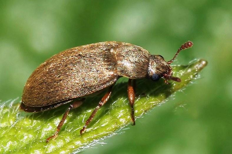 Малинный-жук