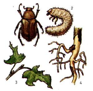 Вред от майских жуков