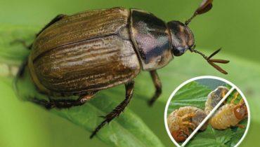 как бороться с майским жуком и его личинками (хрущами)