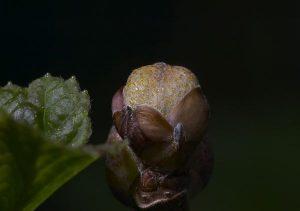 Currant-Mite_2