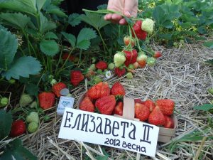 Ремонтантная клубника «Елизавета-2»