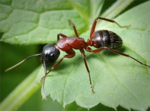 Рецепты от муравьев на участке