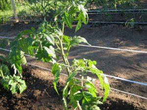podvyazka-rastenij-i-plodov