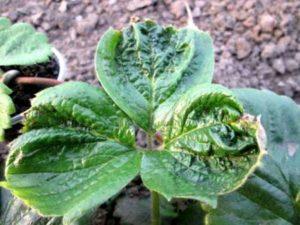 Морщинистость клубники (Strawberry Crinkle)