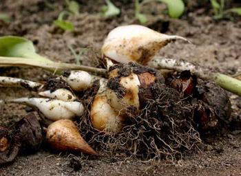 когда выкапывать тюльпаны и как хранить до посадки осенью