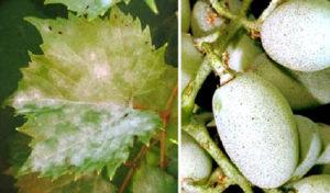 Оидиум (настоящая мучнистая роса) винограда