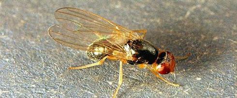 carrot-fly-01 (1)