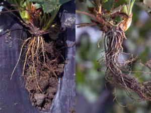Чёрная корневая гниль (Rhizoctonia Solani)