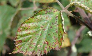 Лиственная ржавчина (Marssonina petontillae)