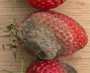 Черная гниль плодов (Rhizopus Nigricans)