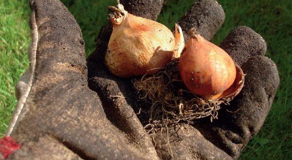 Посадка луковиц тюльпанов когда выкапывать и когда садить 38