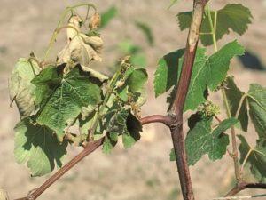 Вертициллёз винограда