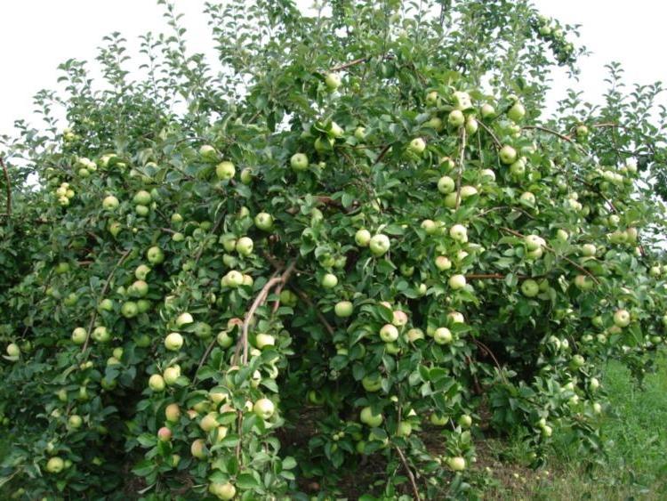 как обрезать яблоню богатырь