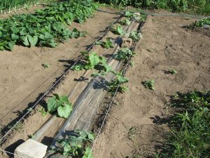 грунт выращивания арбузов дыни
