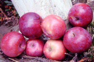 сорт яблони лобо фото и описание сорта