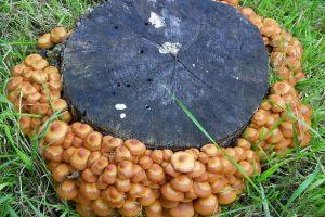 Подмосковные опята, все за грибами!