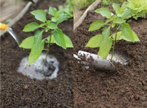 Процесс посадки рассады перца