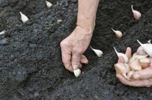 content_planting-garlic-129