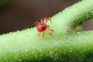 паутинный клещ на комнатных растениях как бороться
