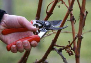 малина обрезка осенью омоложение старого куста схема
