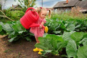 Правильный полив капусты