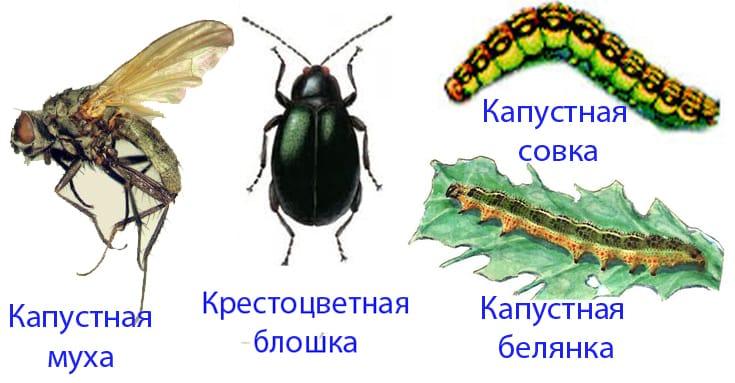 Борьба с вредителями и болезнями капусты