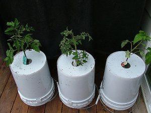 помидоры верхногами в домашних условиях выращивание