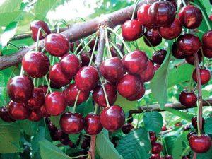 Черешня для Подмосковья (колоновидная, самоплодная): лучшие сорта для выращивания