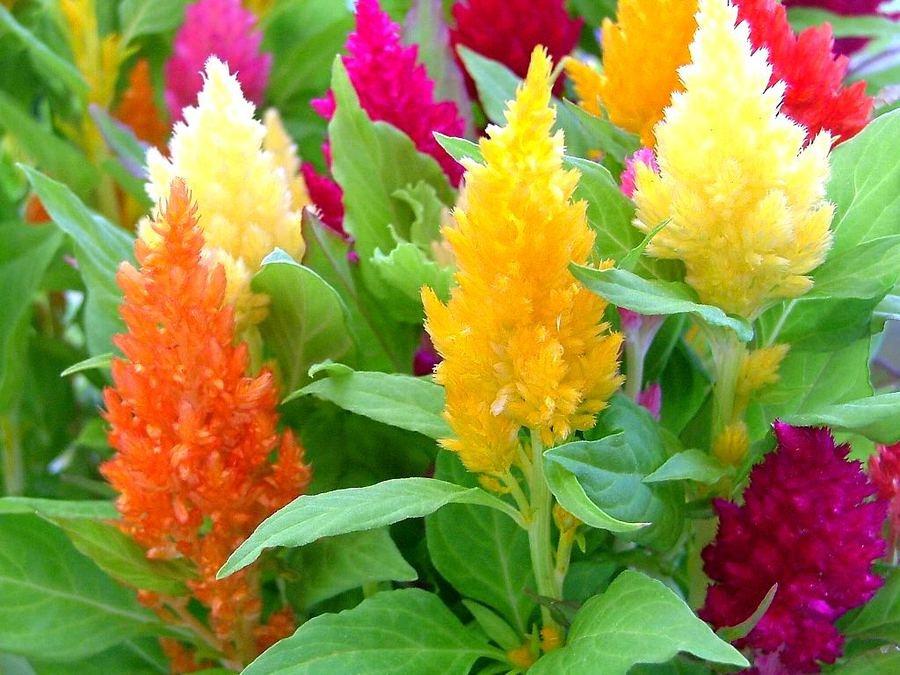 Цветок целозия гребенчатая -посадка и уход 82