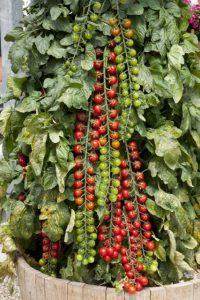 томат рапунцель отзывы фото урожайность