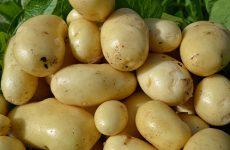 картофель импала описание сорта фото отзывы
