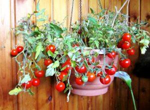 томат балконное чудо как выращивать