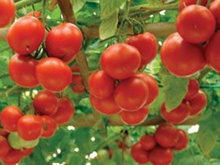 Томатное дерево: выращивание в открытом грунте, в домашних 36