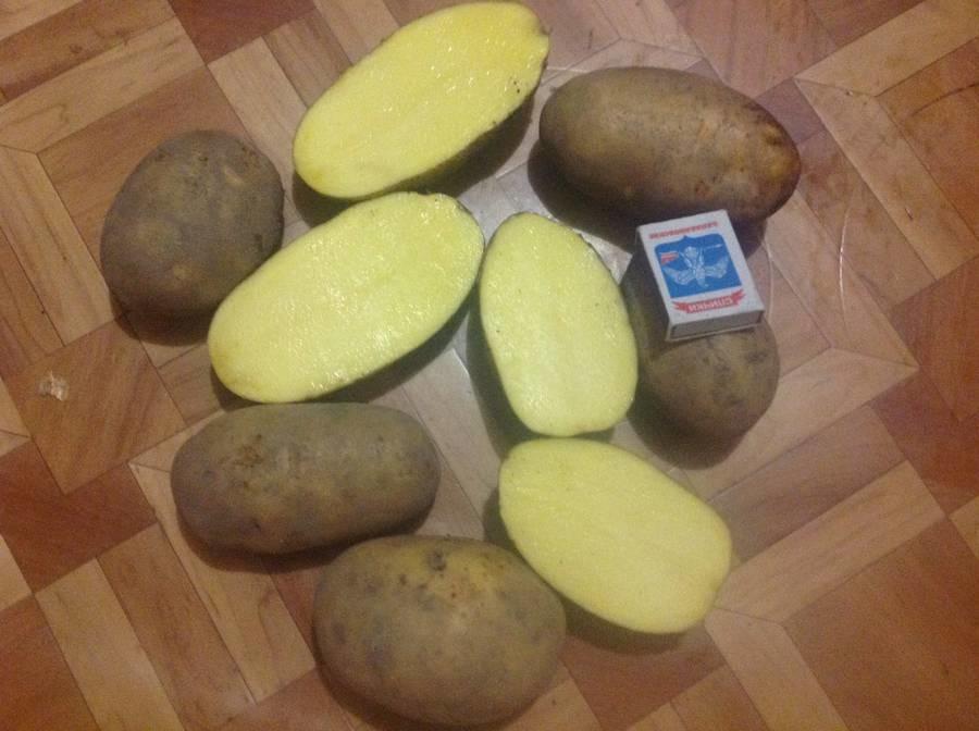 картофель бриз описание сорта фото