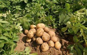 Картофель метеор характеристика сорта отзывы вкусовые качества