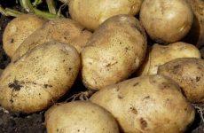 картофель санте описание сорта фото отзывы