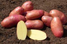 картофель беллароза описание сорта фото отзывы