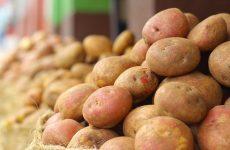 картофель коломбо описание сорта фото отзывы