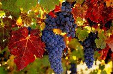 виноград амурский описание сорта фото отзывы