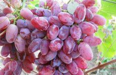 виноград клеопатра описание сорта фото отзывы