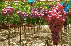 виноград сорт кишмиш описание сорта