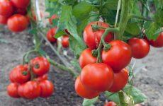 как обрезать помидоры в теплице чтобы был хороший урожай