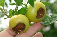 Вершинная гниль на помидорах лечение, лечение народный способ