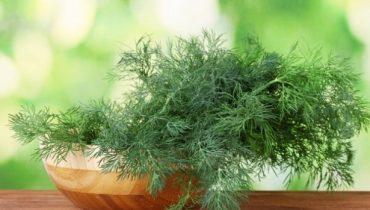 Как вырастить укроп на подоконнике в квартире?