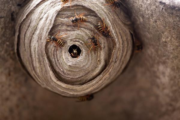 Как избавиться от осиного гнезда на даче?
