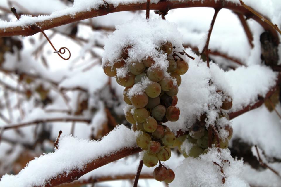 Подготовка винограда к зиме в Сибири Подмосковье на Урале