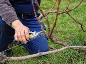Подготовка винограда к зиме в Сибири, Подмосковье, на Урале